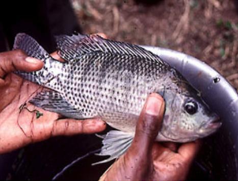 Septembre 2015: Agroforesterie et pisciculture