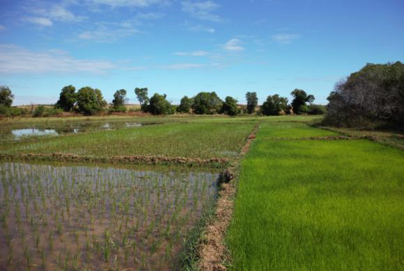 Janvier-Février 2018: Formation au système de riziculture intensif (SRI) et au semis direct